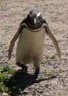 Menacing looking penguin near Puerto Madryn  Trip: B.A. to L.A. Entry: Whales and Penguins Yeah Date Taken: 04 Nov/02 Country: Argentina Taken By: Mark Viewed: 895 times Rated: 2.0/10 by 1 person