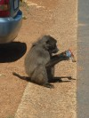Baboon That Ate My Ice Cream  Trip: Greece, Egypt and Africa Entry: Cape Town & South Coast Date Taken: 12 Nov/03 Country: South Africa Taken By: Travis Viewed: 946 times Rated: 8.3/10 by 3 people